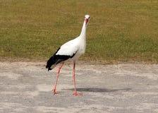 Ciconia del Ciconia de la cigüeña blanca Imagen de archivo libre de regalías
