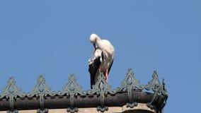 Ciconia del Ciconia de la cigüeña blanca almacen de metraje de vídeo