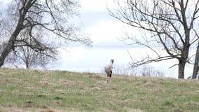 Ciconia del Ciconia de la cigüeña blanca en prado almacen de metraje de vídeo