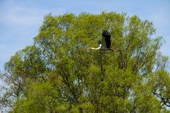 Ciconia del Ciconia de la cigüeña blanca en vuelo Imágenes de archivo libres de regalías