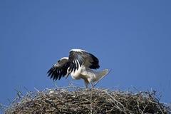 Ciconia di Ciconia o cicogna bianca in un nido Fotografia Stock