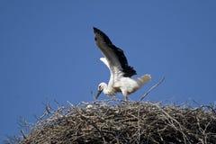 Ciconia di Ciconia o cicogna bianca in un nido Immagini Stock