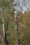 Ciconia di Ciconia della cicogna bianca Immagine Stock