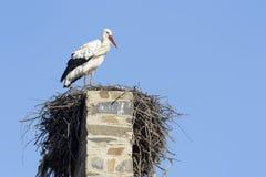 Ciconia do Ciconia da cegonha branca no ninho, imagens de stock royalty free