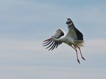 Ciconia européen de cigogne en vol, d'isolement sur le ciel Photo stock