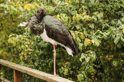 Ciconia nigra, black stork Stock Image