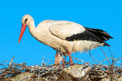 Ciconia or Stork Stock Images