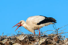 Ciconia or Stork Royalty Free Stock Image