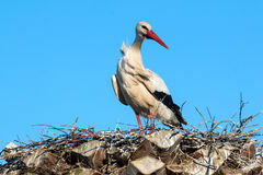 Ciconia or Stork Stock Photography