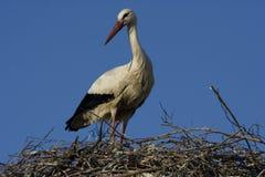 Ciconiaciconia - vit stork royaltyfri foto