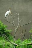 Ciconiidae bird on the tree. At park royalty free stock photo