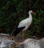 Ciconiidae. The stork stand in the vegeation and look around stock images