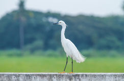 Ciconiiformes. Egret on a cement floor stock photography