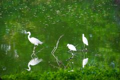 Ciconiiformes kwestionujący ptak na kilkuramiennym w bagnach fotografia stock