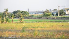 Ciconiiformes and Swallows Bird on Paddy or Rice field at Nonthaburi, Thailand. Nonthaburi is located directly northwest of Bangkok on the Chao Phraya river. The stock footage