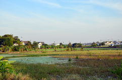 Ciconiiformes and Swallows Bird on Paddy or Rice field at Nonthaburi, Thailand Stock Photo