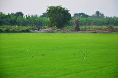 Ciconiiformes and Swallows Bird on Paddy or Rice field at Nonthaburi, Thailand Royalty Free Stock Photo