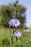 Cicoria blu dei wildflowers & x28; Intybus& x29 del Cichorium; nel campo di estate Immagini Stock Libere da Diritti
