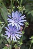 Cicoria del fiore Fotografie Stock Libere da Diritti