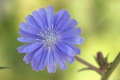 Cicoria selvatica del fiore fotografie stock libere da diritti