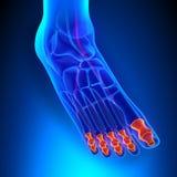 趾骨有Ciculatory系统的解剖学骨头 免版税库存图片