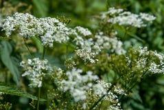 Cicuta di fioritura Immagine Stock