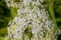 Cicuta di fioritura Fotografia Stock