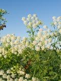 Cicuta (maculatum do Conium) Foto de Stock