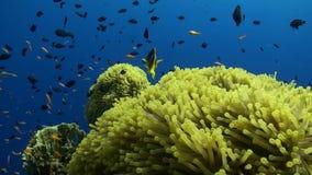 Cidade da anêmona no recife de Daedalus video estoque