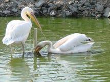 Cidade do beira-mar da região de Berdyansk Zaporozhye Os pássaros e os animais exóticos do jardim zoológico local descansam pacif Imagens de Stock Royalty Free