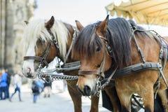 Cidade Dresden Alemanha Saxony Um par de cavalos aproveitados a um carro foto de stock