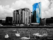 Cidade e cisnes da quintilha jocosa Imagens de Stock