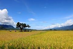 Cidade natal do arroz no ¼ ŒTaiwan de Taidongï imagem de stock