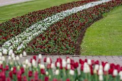 Cidade rep?blica de Riga, Let?nia Bandeira let?o das tulipas, vermelho e branco - Imagem fotografia de stock royalty free