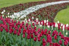 Cidade rep?blica de Riga, Let?nia Bandeira let?o das tulipas, vermelho e branco - Imagem imagens de stock