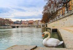 Cidade velha de Lyon e a cisne branca Fotografia de Stock