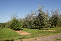 Cider apple orchard Stock Photos
