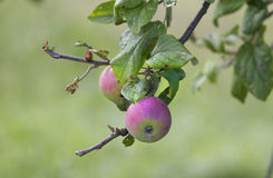 Cider Apples from Asturian. Stock Image