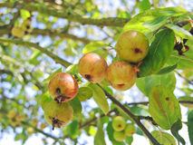 Cider apples on tree in Calvados region Royalty Free Stock Images