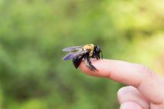Cieśla mamrocze pszczoły obsiadanie na ręce zdjęcie stock