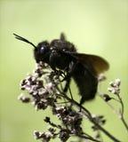 Cieśla pszczoła Fotografia Stock