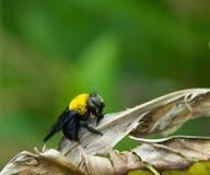 Cieśla pszczoły obrazy royalty free