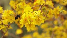 Cieśla pszczoły I koloru żółtego okwitnięcia Morelowy drzewo zbiory wideo