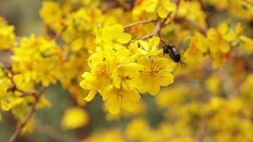 Cieśla pszczoły I koloru żółtego okwitnięcia Morelowy drzewo zbiory