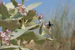 Cieśla pszczoły xylocopinae violacea przerwy na purpury pustyni kwitną Sodom Apple fotografia stock