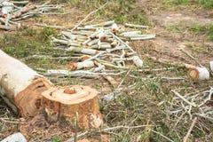 Cieśli rżnięci Eukaliptusowi drzewni bagażniki Zdjęcie Royalty Free
