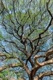 Cień Gigantyczny drzewo Fotografia Royalty Free