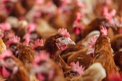Ciekawa brown karmazynka na organicznie kurczaka gospodarstwie rolnym Obrazy Stock