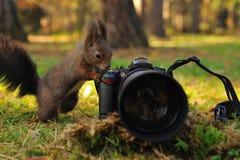Ciekawa brown wiewiórka z kamerą