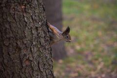 Ciekawa czerwona wiewiórka Obraz Royalty Free